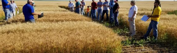 Winter Wheat Breeding Increases Yield Potential