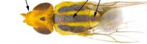 Wheat Stem Maggot Adults Observed in South Dakota Wheat